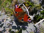Peacock (Inachis io)